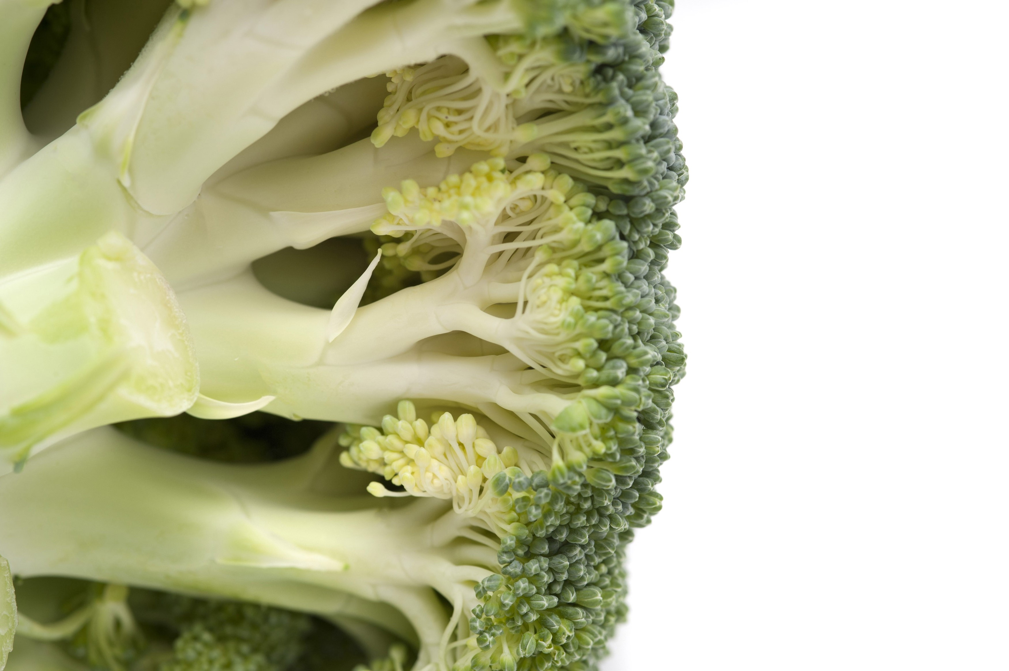 Underside of a fresh head of broccoli showing the edible stalks and green florets isolated on white with copyspace