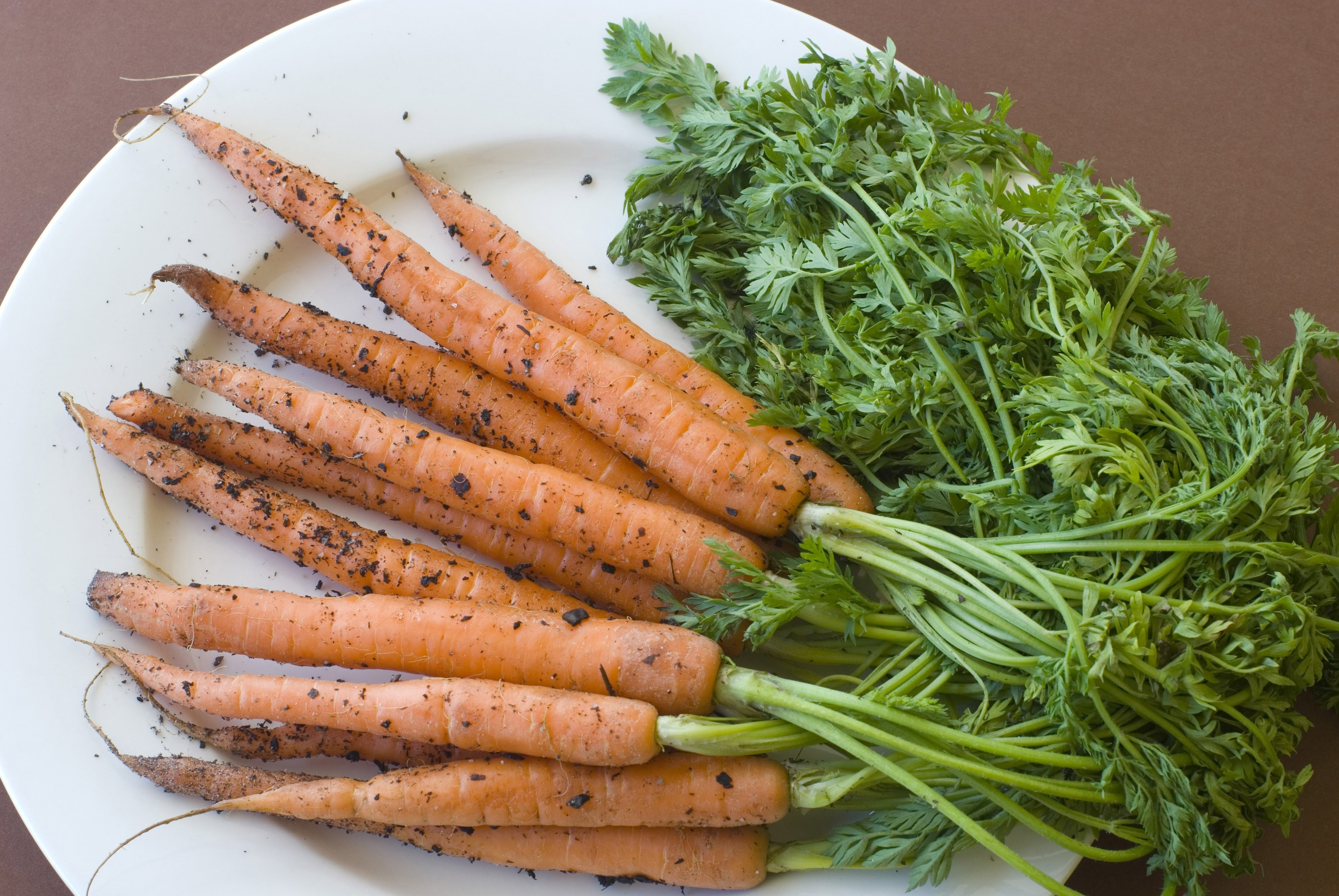 Bunch of unwashed raw garden fresh carrots with their leaves and a covering of soil on a white plate, overhead view