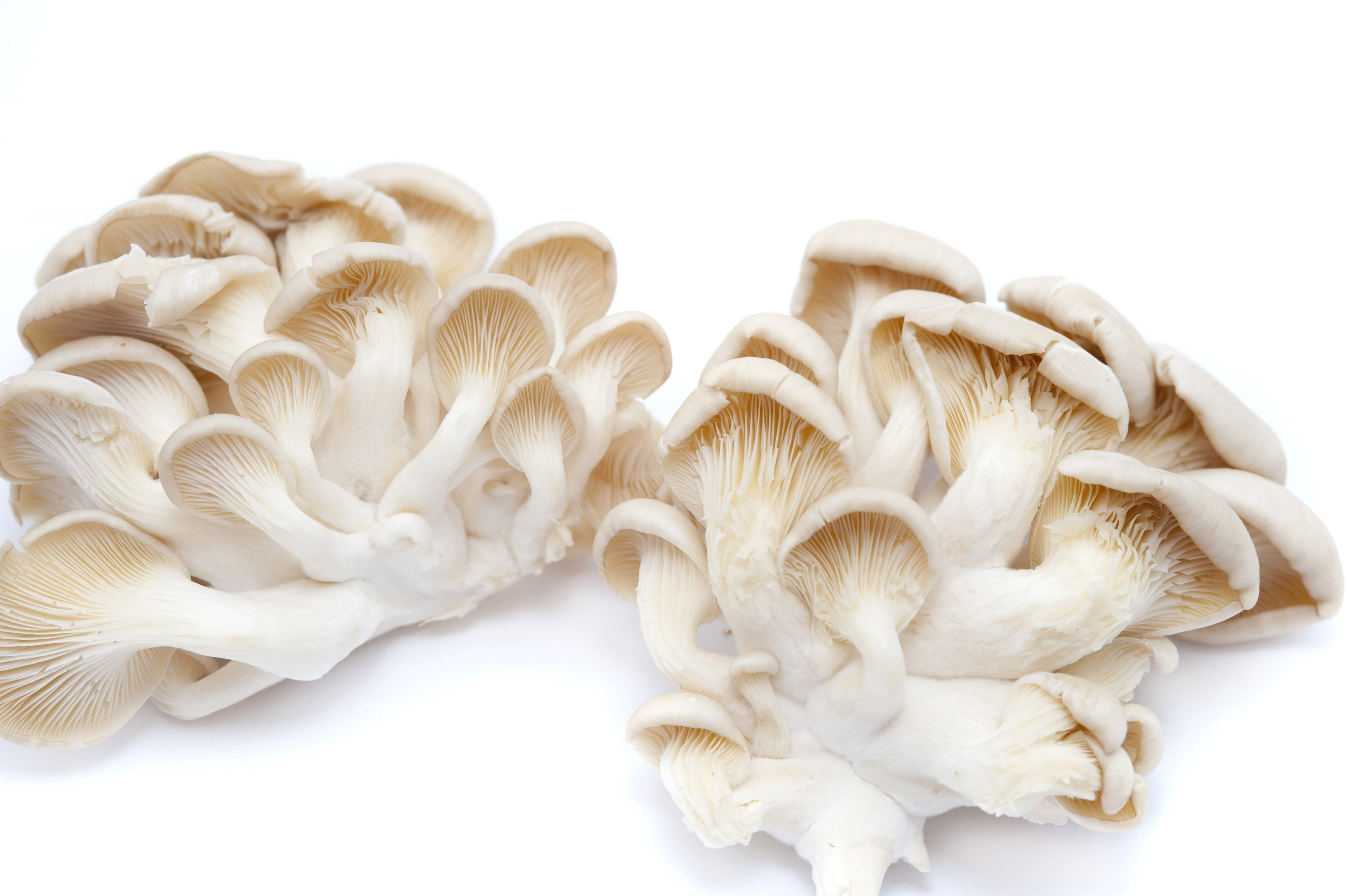 Underside view of a cluster of fresh hiratake or oyster mushrooms used as a delicacy in gourmet cooking